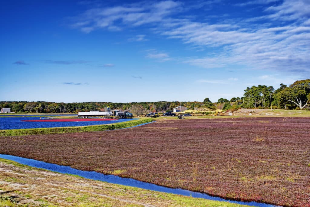 Cranberries being harvested in South Yarmouth, Massachusetts on a sunny blue sky day in Cape Cod