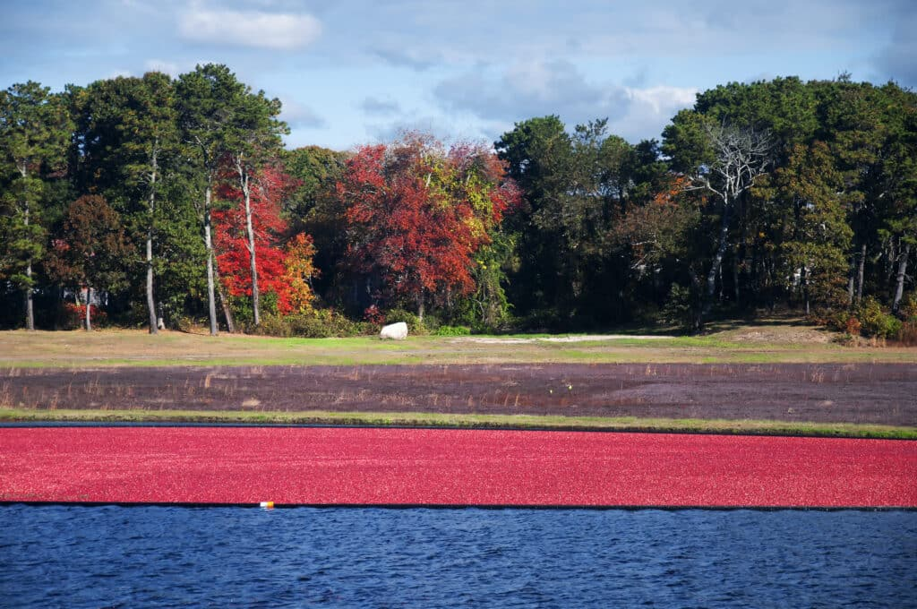 Cranberries floating in a bog on a farm in South Yarmouth, Massachusetts on a sunny blue sky day in Cape Cod.