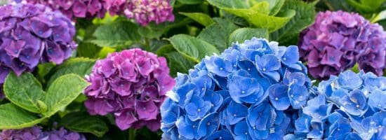 Beautiful purple and blue hydrangea blooming on Cape Cod in summertime.