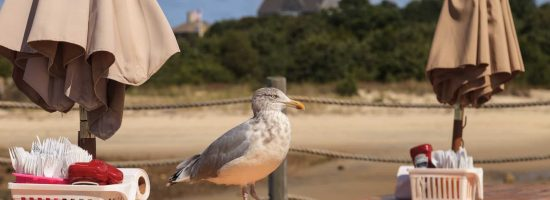 Seagull on a picnic table looking for scraps on Cape Cod in summer