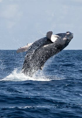 Large whale jumping out of the deep blue ocean