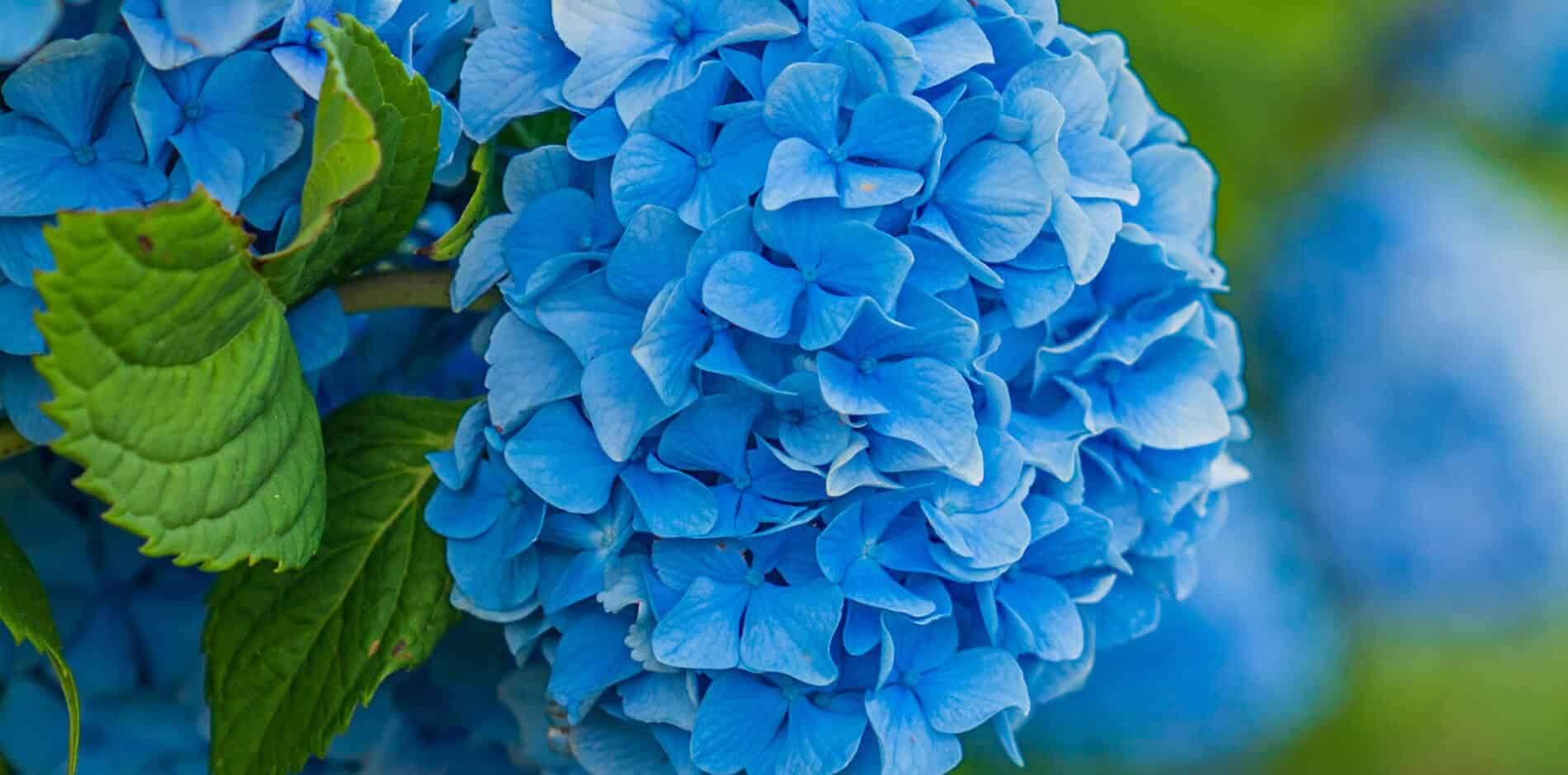 Close-up view of bright blue hydrangea flower surrounded by green leaves